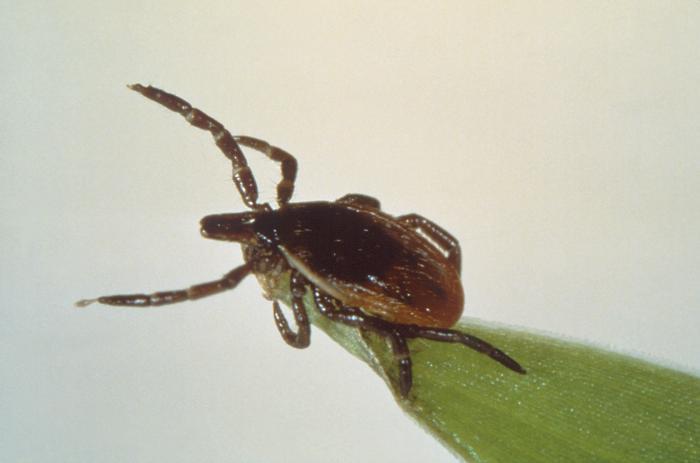 tick, lyme disease