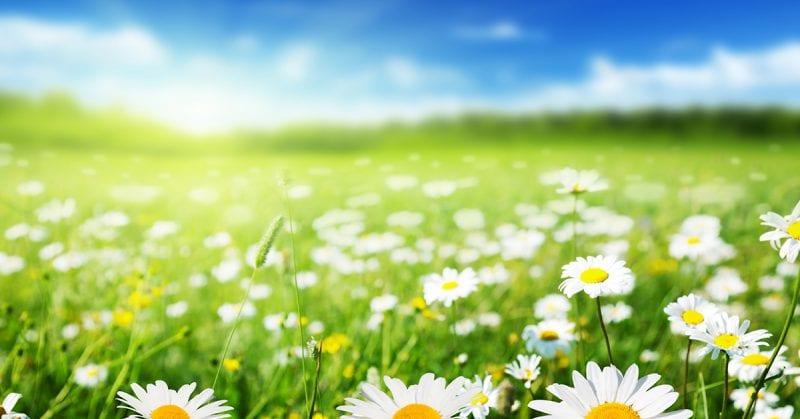 DAISY award - field of daisies